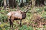 American Elk standing in the forest at Northwest Trek Wildlife Park
