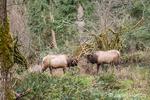 Two American Elk bucks rutting in the forest at Northwest Trek Wildlife Park