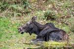 Male Moose with trimmed antlers at Northwest Trek Wildlife Park