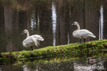 Two Trumpeter Swans resting on a moss-covered log at Northwest Trek Wildlife Park