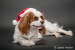 Mandy, a nine month old Cavalier King Charles Spaniel puppy, being mischievous and trying to pull off her Santa hat