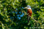 Ringed Kingfisher sitting in a tree
