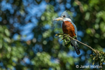 Ringed Kingfisher sitting in a tree in the Pantanal region of Brazil, South America