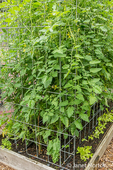 Several cherry tomato plants growing in one large tomato cage / trellis