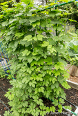 Hops plant growing on a trellis.  H