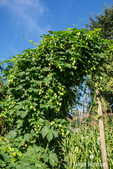 Hops plant growing on a trellis, with sweet corn in the background.