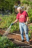 Male master gardener watering raised bed gardening plots in a community garden