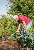 Male master gardener watering tomato plants in a raised bed gardening plot in a community garden
