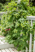 Hops plant with cones growing as a climbing plant up the side of a porch