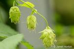 Close-up of hops cones