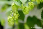 Close-up of hops cones