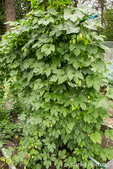Hops plant with cones growing on a trellis