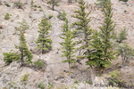 Lodgepole pine trees growing on a barren hillside