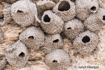 In the rear of Soda Butte Mound in the Lamar Valley are a number of mud nests made by Cliff Swallows
