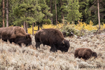 Bison family walking in the Lamar Valley after an Autumn snowfall