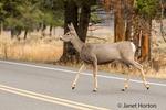 Pronghorn antelope crossing a highway