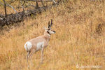Pronghorn antelope in tall grass