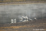 Six Trumpeter Swans preening and stretching