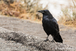 Raven in a parking lot looking for food handouts