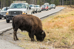 American Bison grazing by the side of the road, as a ranger keeps people at a safe distance away