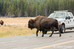 American Bison crossing a highway, with tourists watching