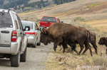 American Bison herd crossing the highway, surrounded by tourist vehicles