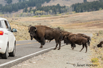 Large male American Bison blocking cars from moving on the highway, so the herd can cross the highway safely