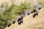 Bison herd grazing on a steep hillside