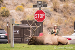 Bull Elk resting beneath a stop sign near the Mammoth Hot Springs Hotel, as a ranger keeps people a safe distance from it