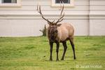 Portrait of a bull elk near the Mammoth Hot Springs Hotel