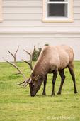 Bull elk grazing near the Mammoth Hot Springs Hotel