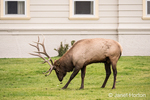 Bull elk rubbing its antlers in the grass near the Mammoth Hot Springs Hotel