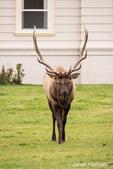 Elk near SAthe Mammoth Hot Springs Hotel