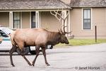Bull Elk walking by the Mammoth Hot Springs Hotel