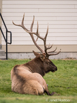 Bull elk vocalizing / bugling near the Mammoth Hot Springs Hotel
