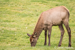 Elk cow grazing near the Mammoth Hot Springs Hotel