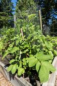 Potato plants growing in a potato cage