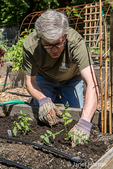 Man planting a tomato start