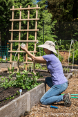 Woman tying snap pea plants to a trellis using a ball of string in Issaquah, Washington, USA