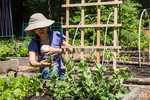 Woman tying snap pea plants to a trellis using a ball of string