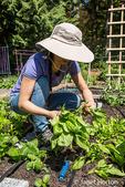 Woman harvesting bok choy