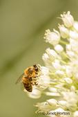 Honeybee pollinating an onion seedhead