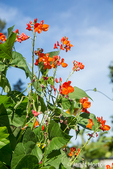 Scarlet Runner pole beans with blossoms