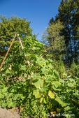 Butternut Squash growing on a teepee-style trellis