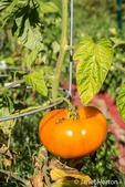 Ripe Willamette tomato on the vine