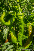 Jimmy Nardello's pepper plant growing