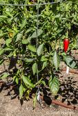 Purple Serrano heirloom sweet pepper plants growing