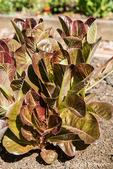 Alkindus Organic lettuce plant growing