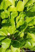 Komatsuna or Japanese mustard spinach, a leaf vegetable