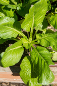 Komatsuna or Japanese mustard spinach, a leaf vegetable, growing